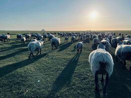 L'agneau de pré-salé