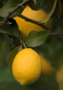 Les citrons Menton
