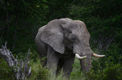 African Elephant News & Events | African Dreams Photo Safaris