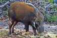 IMG_7820 Bush Pig 191113.jpg
