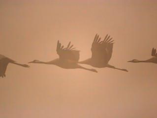 Crane birds over White Lake