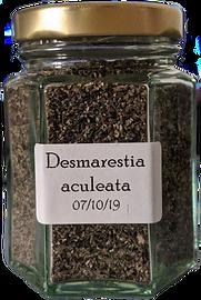 desmaretia%20aculeata_edited.png