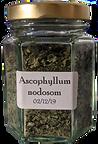 Ascophyllum%20nodosom_edited.png
