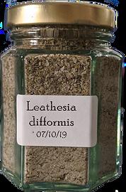 Leathesia%20difformis_edited.png
