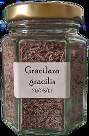 Gracilara%20gracilis_edited.png