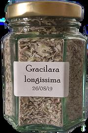 Graciara%20longissima_edited.png