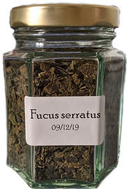 Fucus%20serratus_edited.png