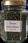Fucus%20vesiculosus_edited.png