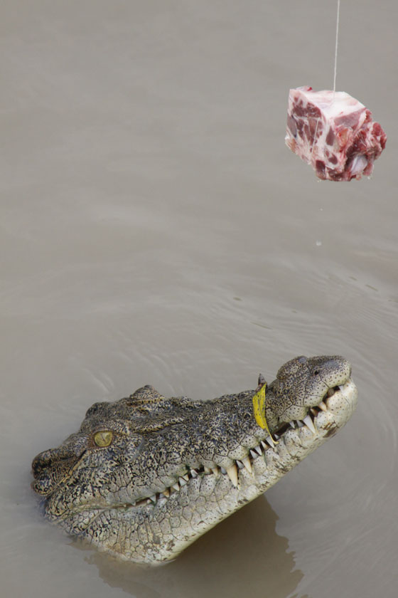 Adelaide River Jumping Croc