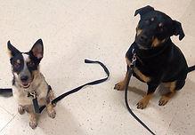 Dog Problem Behavior Resolution Rocky Junior's Dog Training Service