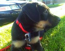 Rocky Junior Behavioral Problem Solutions Rocky Junior's Dog Training Service Puyallup WA