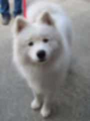 Kody the Samoyed puppy proud graduate of Rocky Junior's Dog Training Service Puyallup WA Dog Training