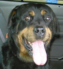 Rocky the Rottweiler Rocky Junior's Dog Training Service Puyallup WA