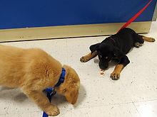 Problem Behavior Solutions Rocky Junior's Dog Training Service Puyallup WA
