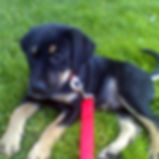 Potty Training For Dogs Rocky Junior's Dog Training Service Puyallup WA Dog Training Puppy Training