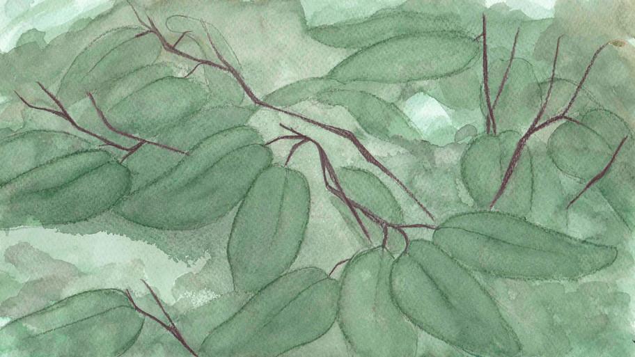 Ipil Tree Foliage