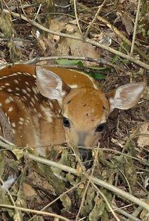 Found baby deer Found fawn