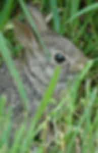 I found a wild rabbit