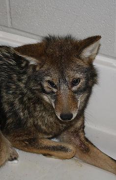 Coyote 2_edited.jpg