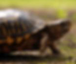 foundanimal_turtle_edited.png