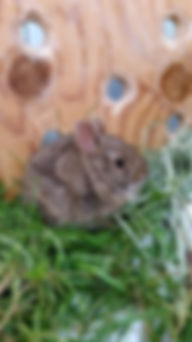 Injured rabbit