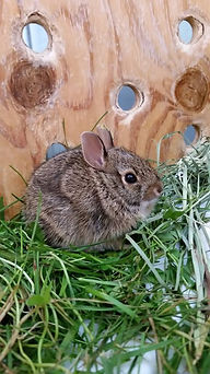 Injured rabbit