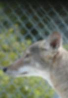 Coyote_edited.jpg