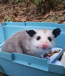 I found a baby opossum