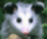 Opossum, baby opossum, joey