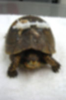 Turtle with broken shell