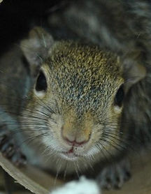 I found a baby squirrel