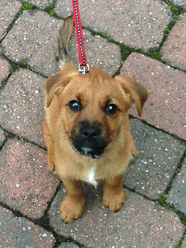 Border Terrier Jack Russell Cross