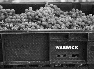 Warwick Grapes in Bin (B&W).png