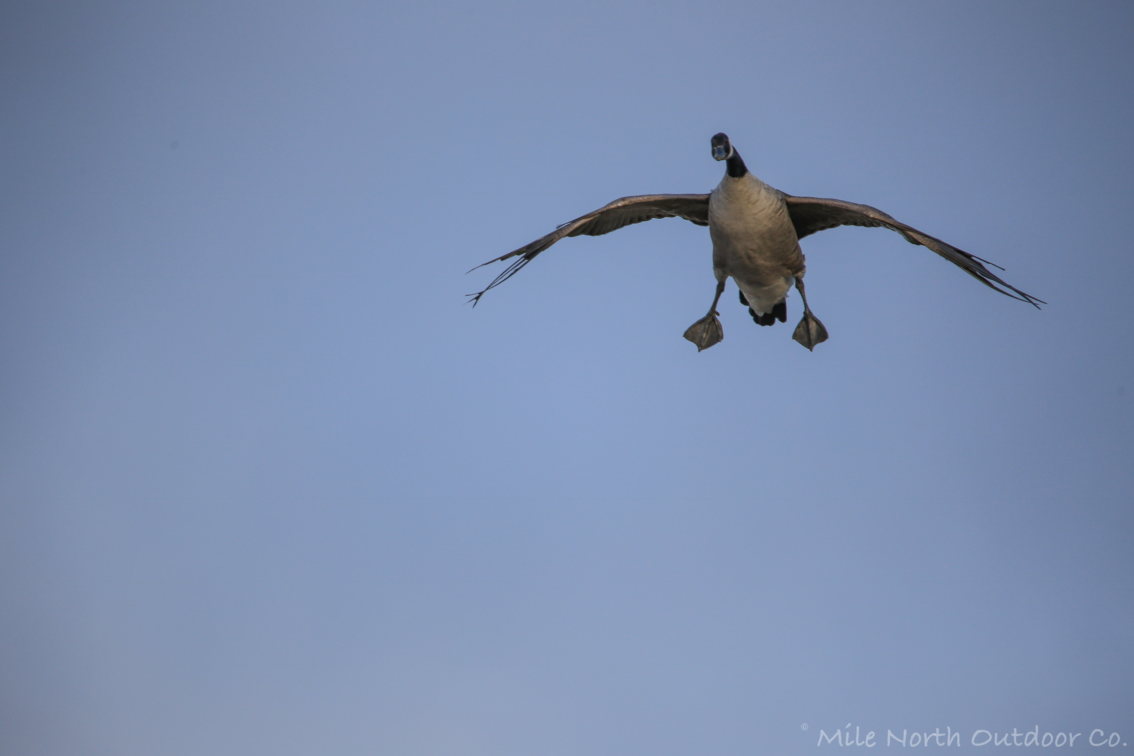 Incoming goose
