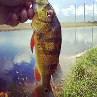 Not a big peacock bass but fun on a 5 we