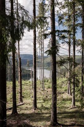 printre copaci