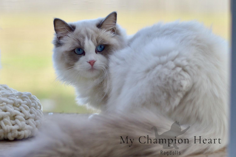 My Champion Heart | MCHeart | Ragdoll Kittens | MI