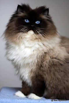 CH. Sweetfellow Quirinius-Matze of Ragissa. seal mitted ragdol.