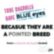 Ragdolls Have Blue Eyes