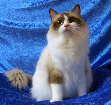 Rags2Riches Lily of Ragmatical. Seal bicolor ragdoll