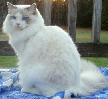CH. CozyCreek Super Sonic Sammy of Rags2Riches. blue lynx bicolo ragdoll.