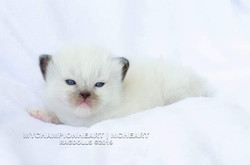 Seal Mitted - From tortie mother