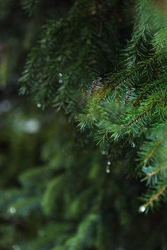pine cone2 (1 of 1).jpg