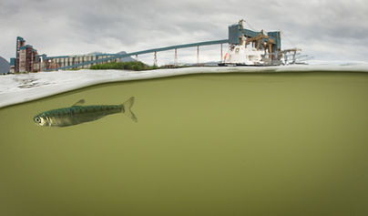 Juvenile Salmon in Estuary_Credit Travis