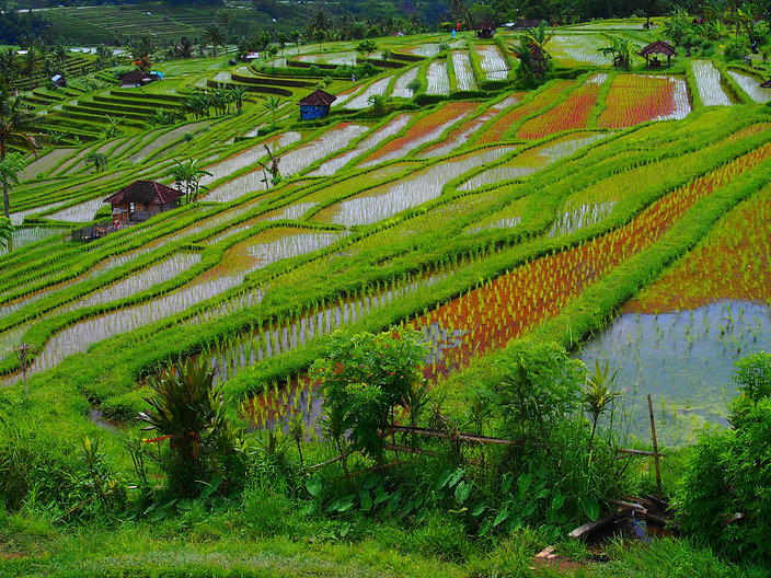 Terraced rice paddies of Bali