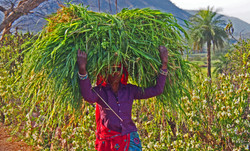 Rajasthan local carrying a load