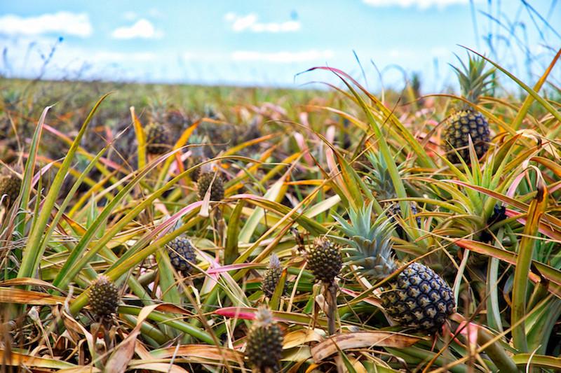 Maui Gold Pineapple Farm
