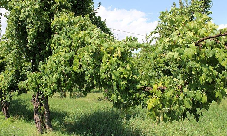 виноградная лоза, подвязанная к белому клёну