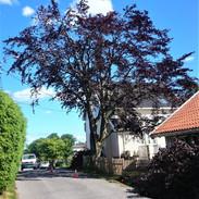 Fagus sylvatica purpurea - blodbøk
