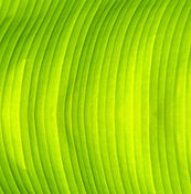 Green Banana Leaf Texture